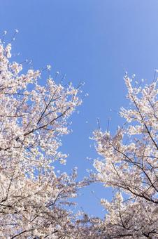 Cherry blossoms in full bloom 4