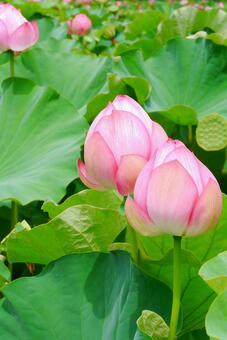 Lotus flower e