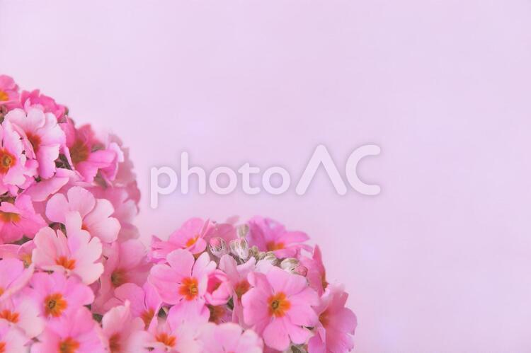 花びらもハート サクラソウのハートの花束(背景ピンク)の写真