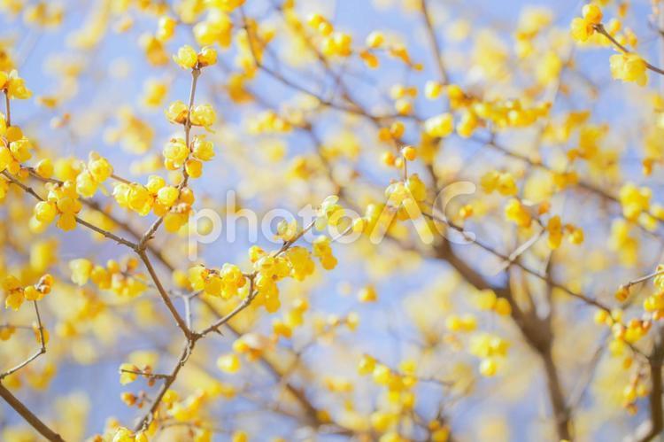 蝋梅の写真