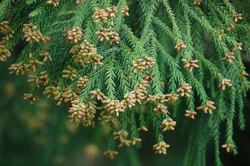 Cedar pollen 1