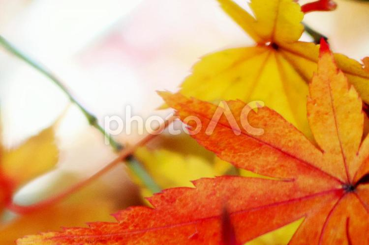 オレンジに色づく美しい紅葉の葉クローズアップの写真