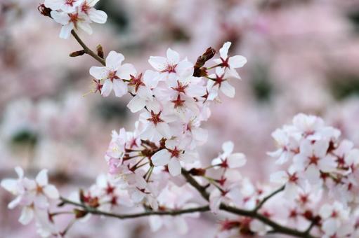산 벚나무