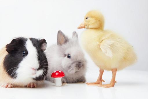 兔子和鸭子和豚鼠10