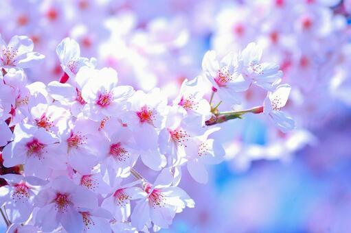 镰仓山盛开的樱花