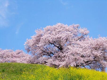 强奸花和樱花
