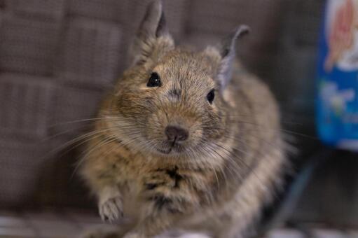 [애완 동물] 카메라 시선의 데구 【데구】