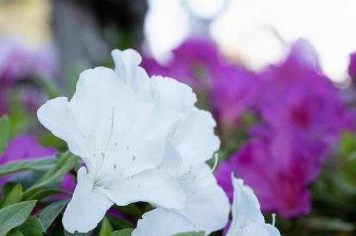 진달래의 흰 꽃의 클로즈업
