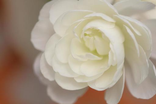 White flower Ranunculus