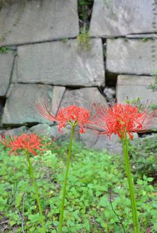 피안 꽃 5
