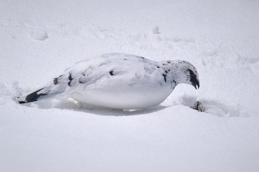 설원 위에서 먹이를 찾아 겨울 깃털 뇌조 수컷