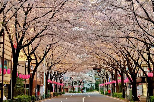 Nakano-dori Sakura 4