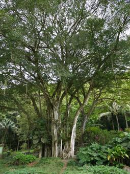 Hawaiian Tree 1