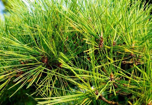 Pine up