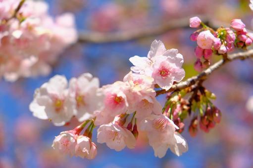 Kawazu Sakura 1