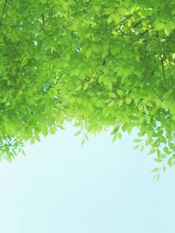 Fresh green young leaves Keyaki zelkova