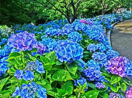 Blue hydrangea and a trail