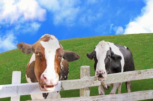 소 두 마리와 목장 (psd 있습니다)