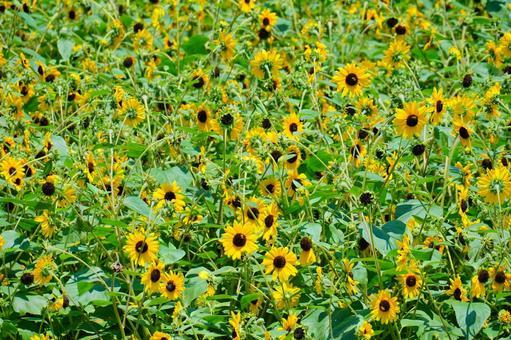 One side of sunflower field
