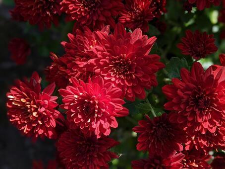 빨간 국화 꽃