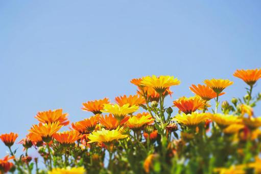 Blue sky and calendula