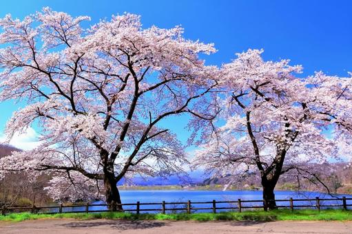 Yoshino cherry tree in full bloom on the shore of the lake