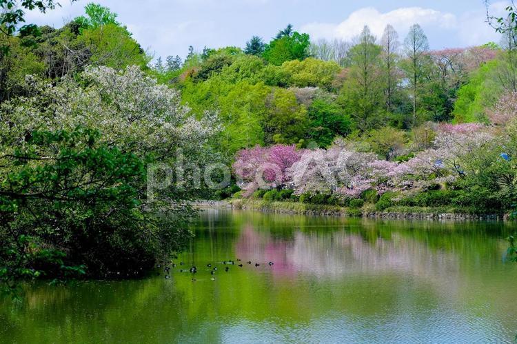 三ツ池公園の桜の写真