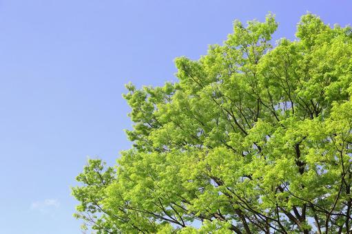 新緑の若葉 ケヤキ 欅