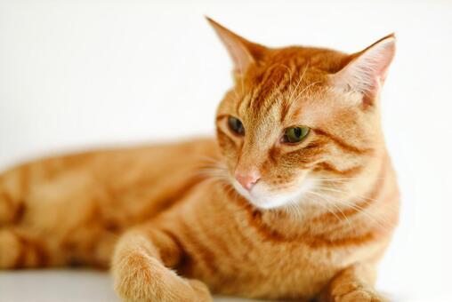Tea tiger cat