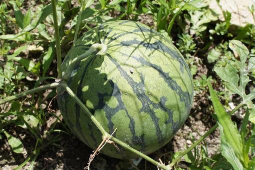 Watermelon before harvest