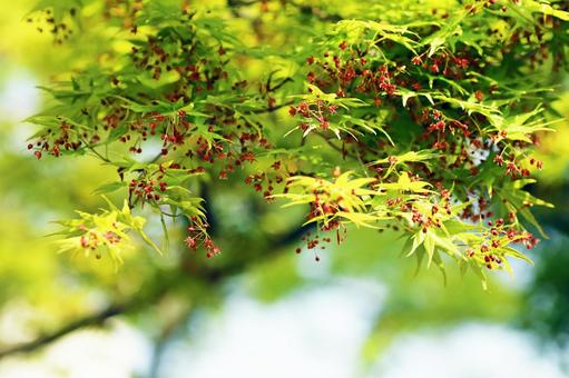 Fresh green and small red flowers of maples in the spring park
