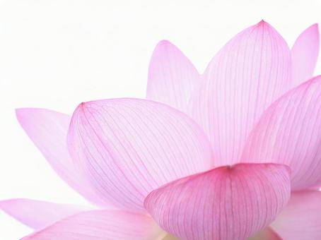Lotus lotus pink flower image material