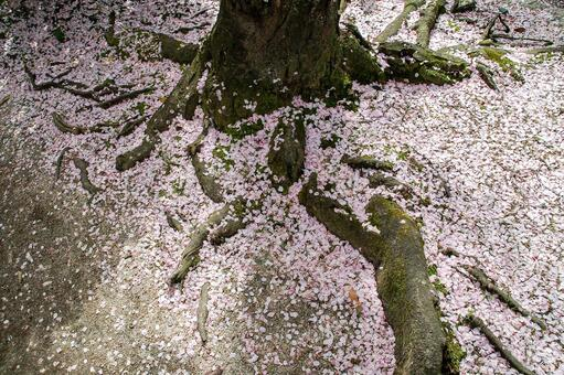 The root of the cherry blossom