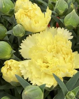Carnation (17)