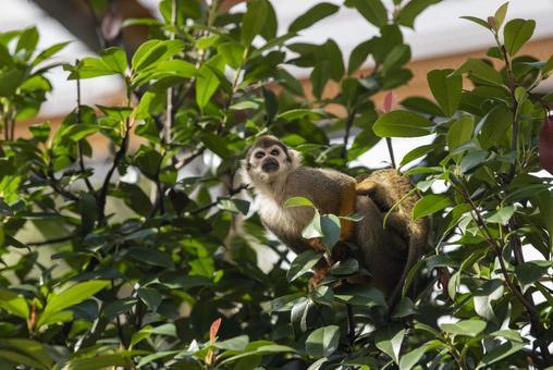 普通松鼠猴