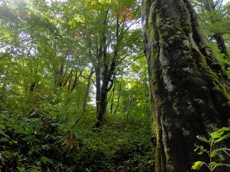 Beech virgin forest