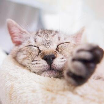 猫睡在猫床上