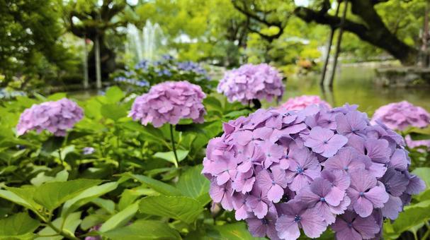 Hydrangea blooming in Shinji Pond, Dazaifu Tenmangu Shrine 002