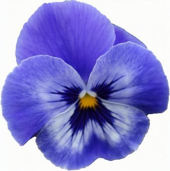 青いパンジーの花(PSDあり)