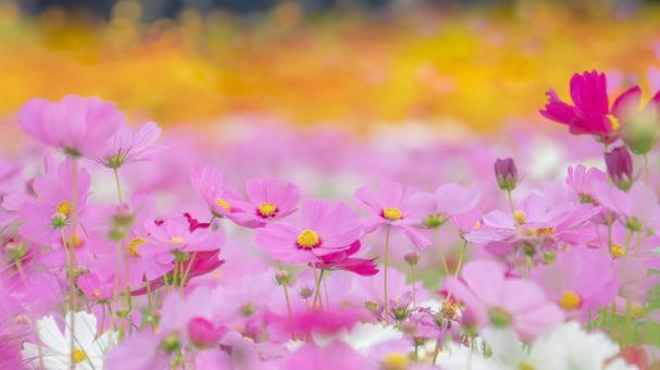 盛開的七彩大波斯菊(背景是Kibana大波斯菊花田)