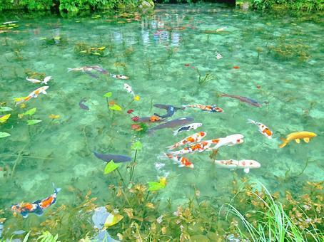 모네의 연못의 잉어들