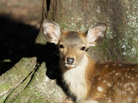 Fawn in Nara Park staring at you