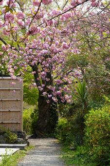 Kyoto Kanzan Blooming Philosophy Road Wallpaper
