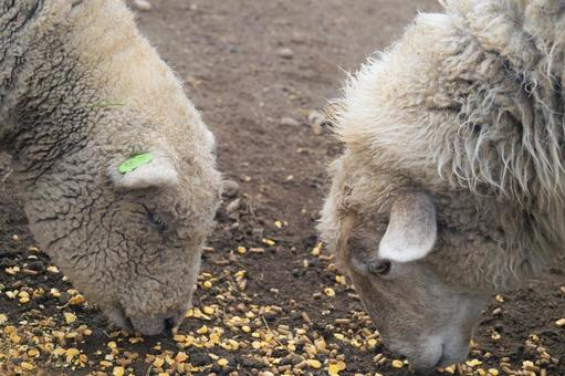 Lambs eating corn
