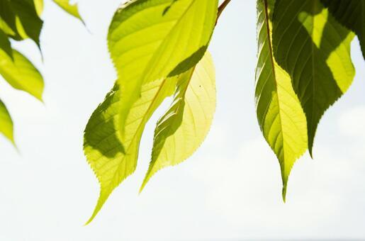 빛과 잎 1
