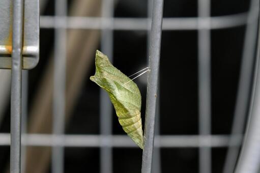 アゲハ蝶のさなぎ─自転車のカゴ