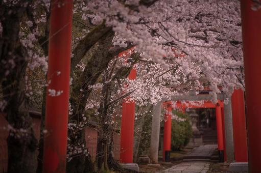 교토 부 다케나카이나 리 신사 벚꽃