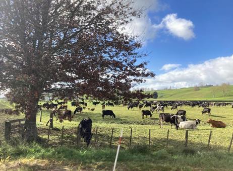 Herd of grazing grassfed cows