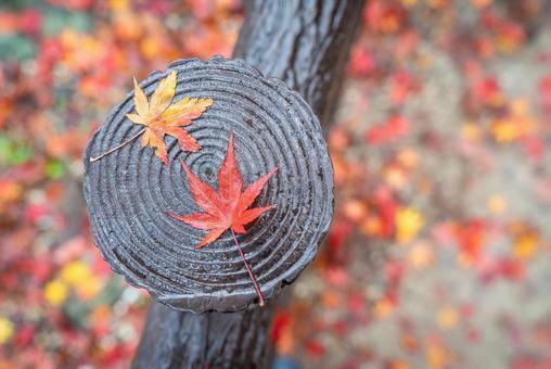 一張落葉的楓樹照片。秋天的圖像照片。