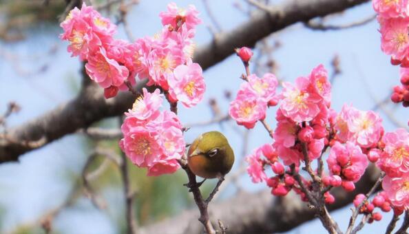 매화의 꽃과 귀여운 동박새 -5_Plum blossoms and cute birds